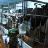 Produção de leite em Lafões ameaçada pelo fim das quotas leiteiras