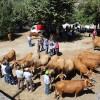Concurso pecuário de Vouzela contou com a participação de 22 produtores locais