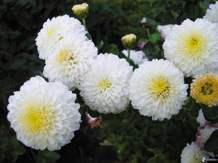 Ed685_crisantemos,-blanco-161990