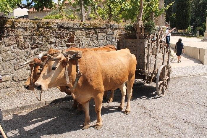 vacas (2)
